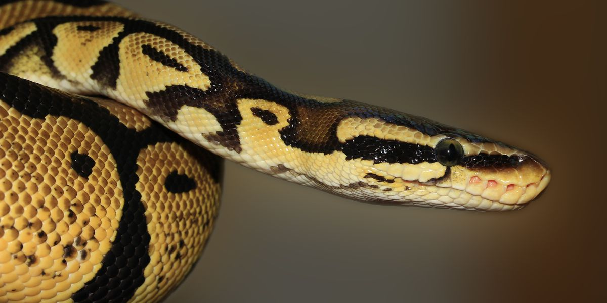 Florida to double up efforts to hunt down pythons