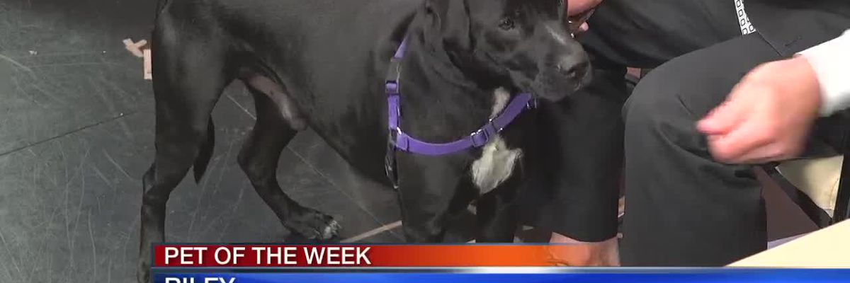 Pet of the Week - Riley From Sarasota County Sheriff's Office Animal Services