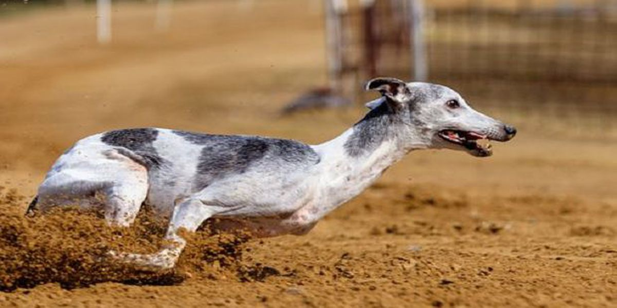 Florida's racing greyhounds will need to be adopted over next two years after vote