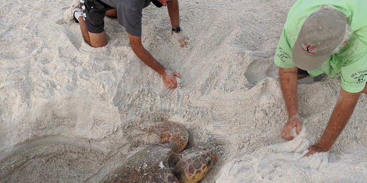 Volunteers work to free turtle from hole on Anna Maria Island
