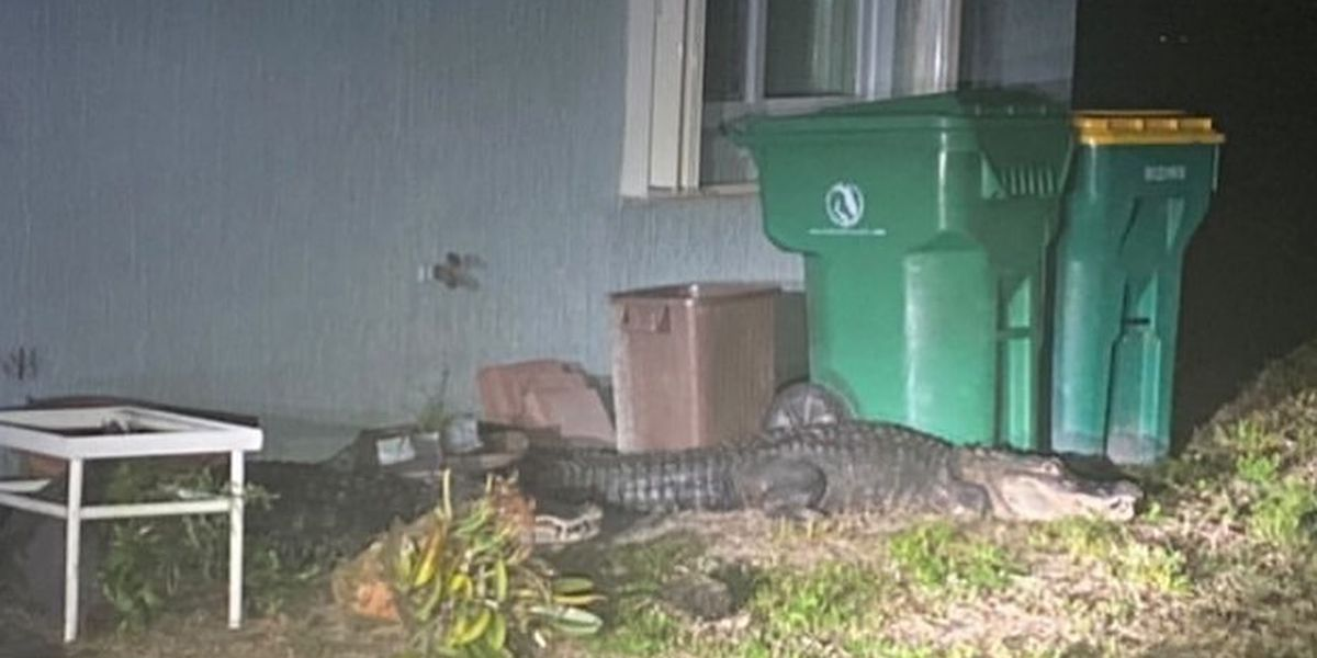 Happy Earth Day? Charlotte County deputies, FWC work to remove gators from Rotonda home