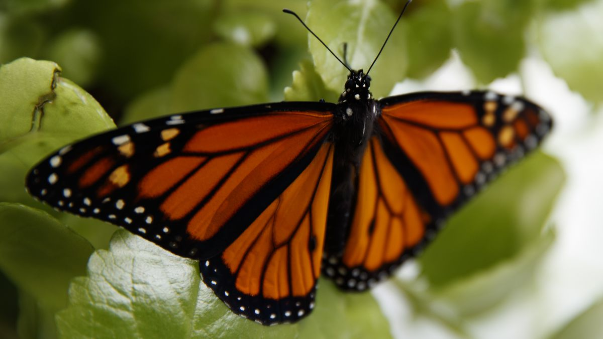 Monarch butterflies down 26% in Mexico wintering grounds