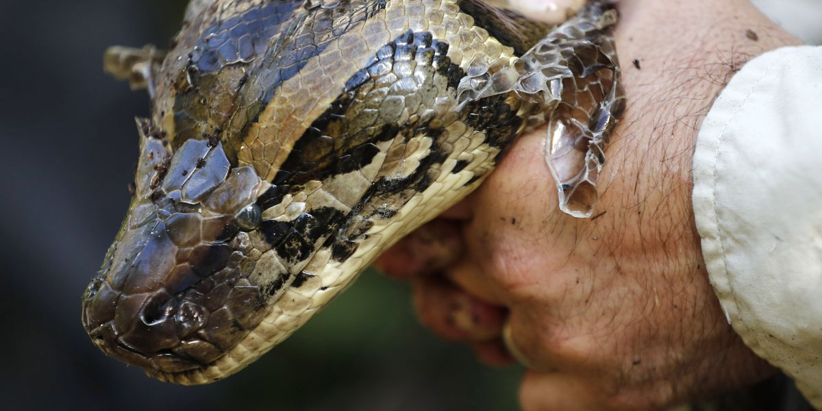 80 reptiles caught in Miami Super Bowl Burmese python hunt