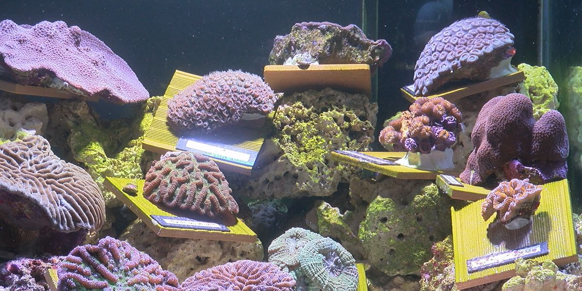 Mote cares for corals rescued in front of the path of deadly disease