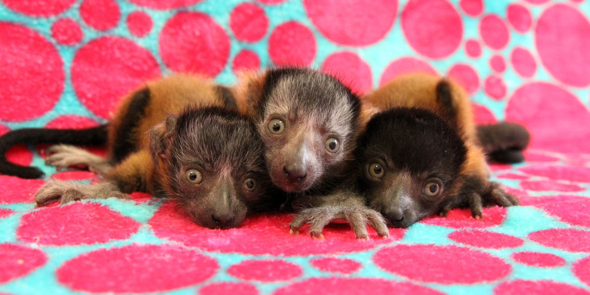 2 Lemurs give birth in Myakka City conservation reserve