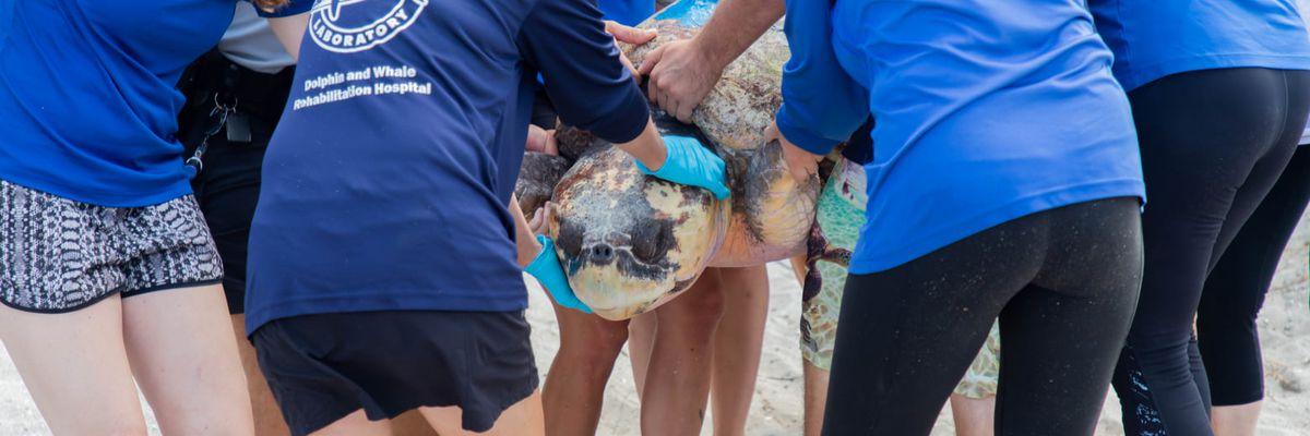 Mote Marine Laboratory releases turtle back into the wild