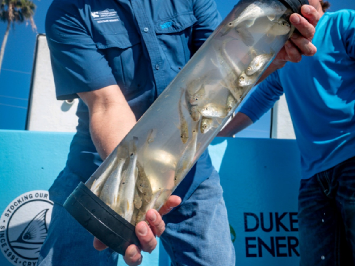 16,000 Redfish to be Released throughout Florida Counties Most Affected by Red Tide