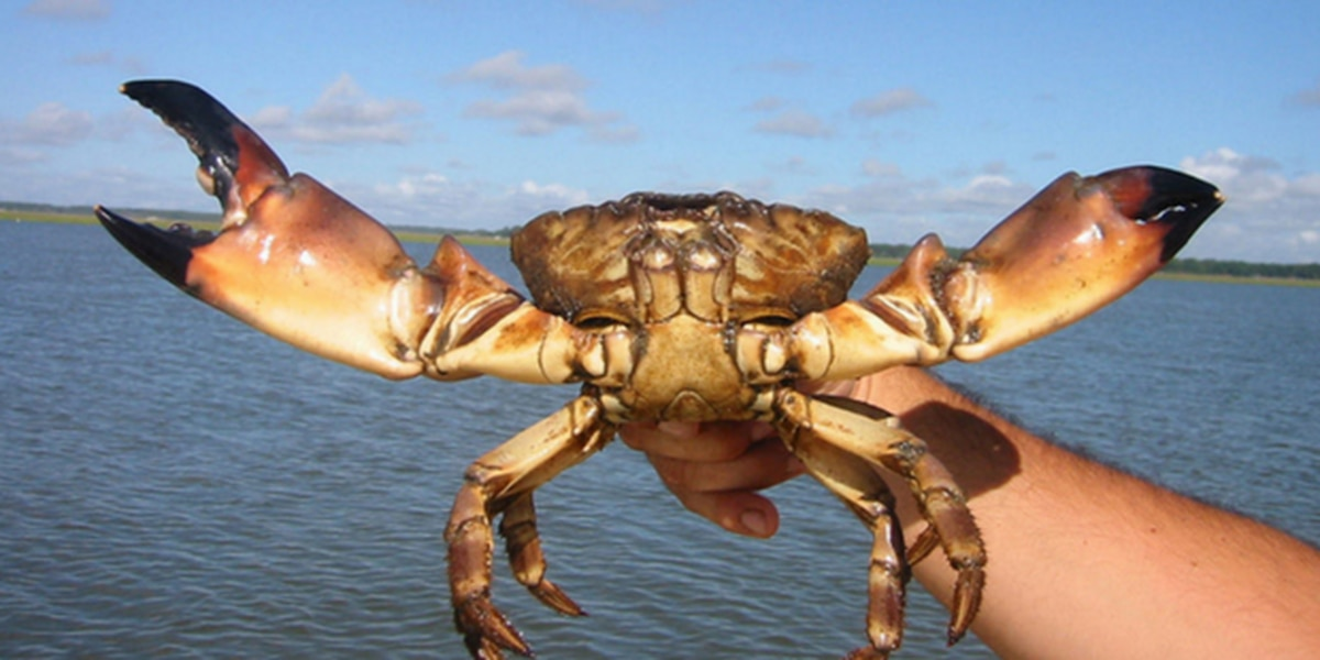 Boat captain says red tide may be a good sign for stone crab season