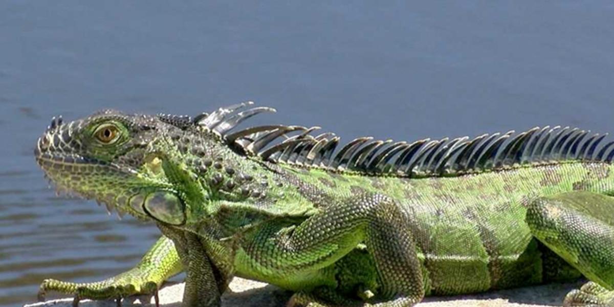 Reptile invasion: FWC encourages killing iguanas