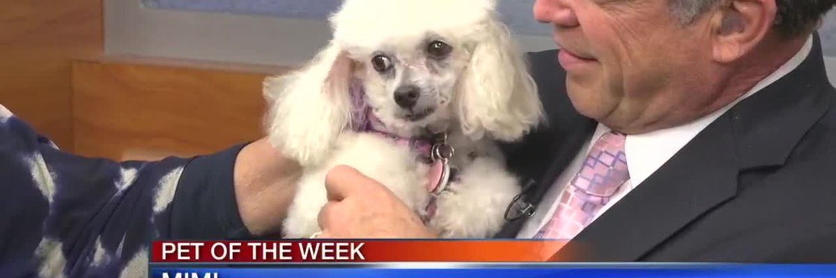 Pet of the Week - Mimi From Florida Poodle Rescue