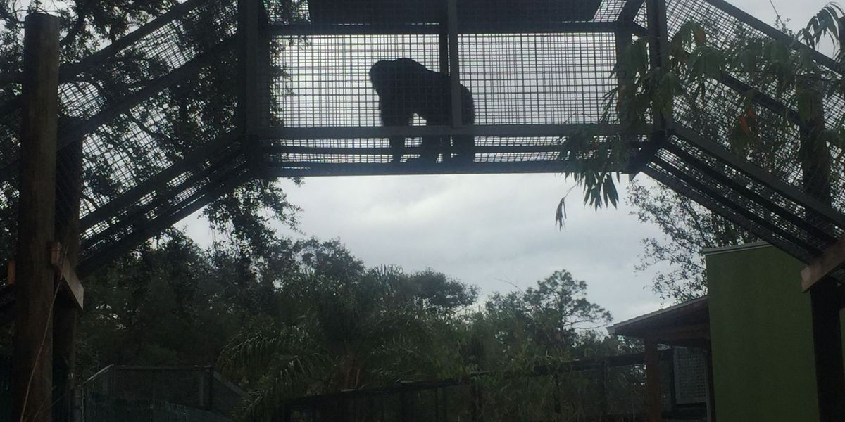 Bubbles The Chimp ... Living Out Retirement on The Suncoast