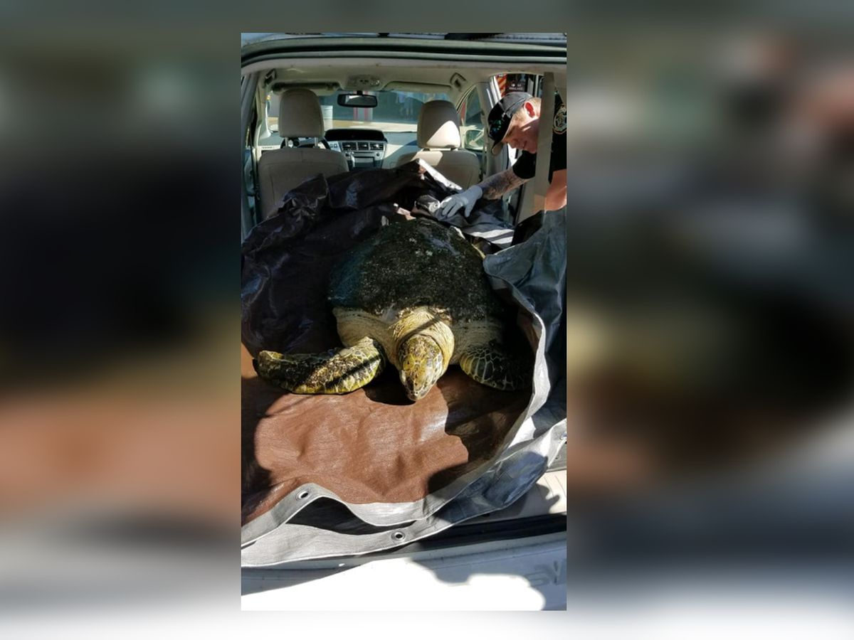 144-pound sea turtle hit by boat rescued off Florida coast