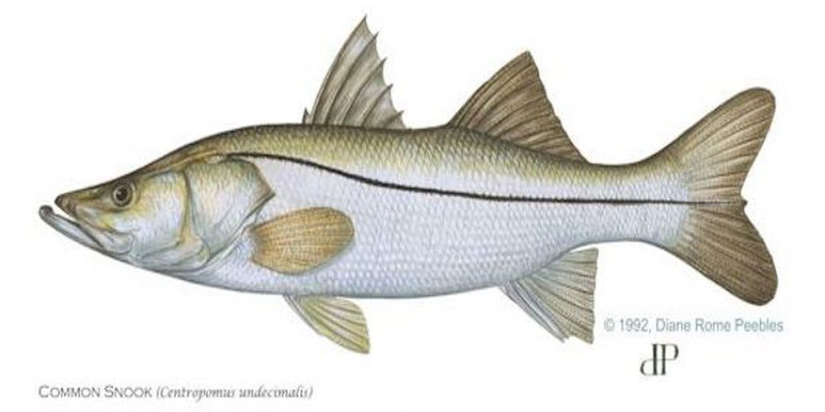 New fishing rules on snook and redfish due to red tide