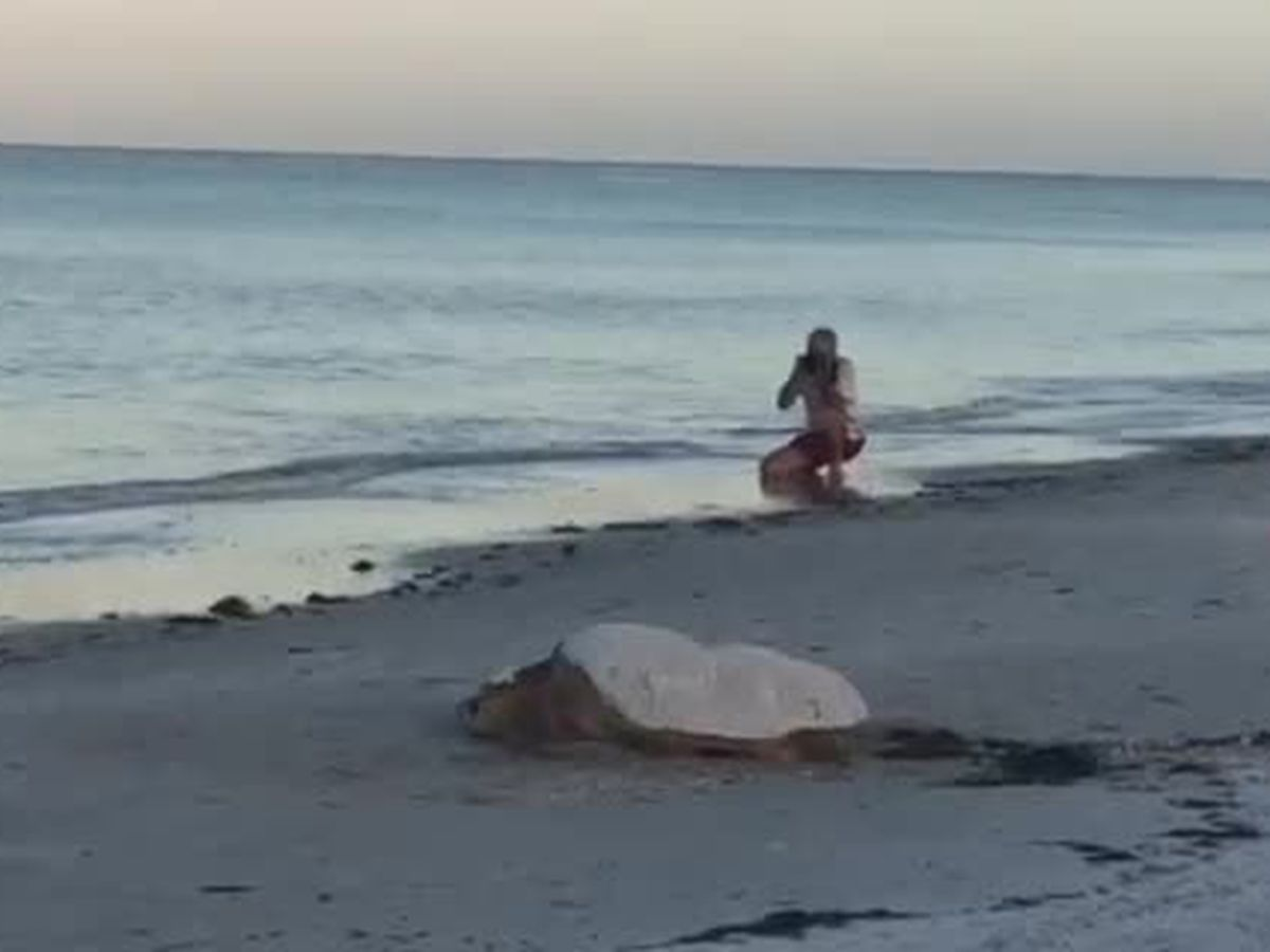 Turtle nesting season is here on the Suncoast
