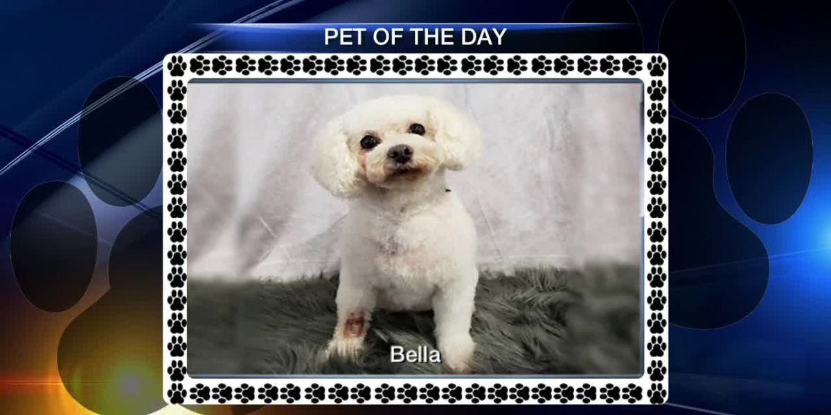 Pet of the Week - Bella From Florida Poodle Rescue