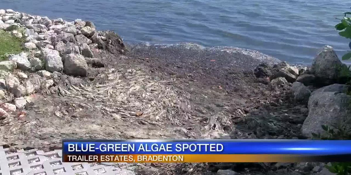 Bloom of Blue-Green Algae in Sarasota Bay has community concerned