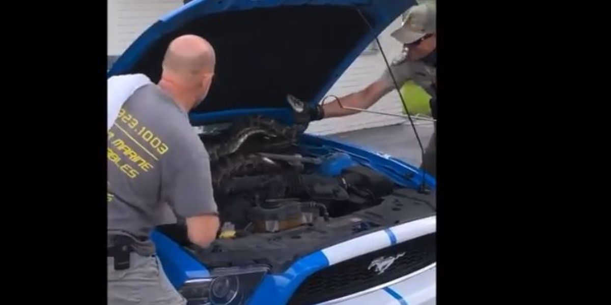 FWC officers remove large Burmese python from under car hood