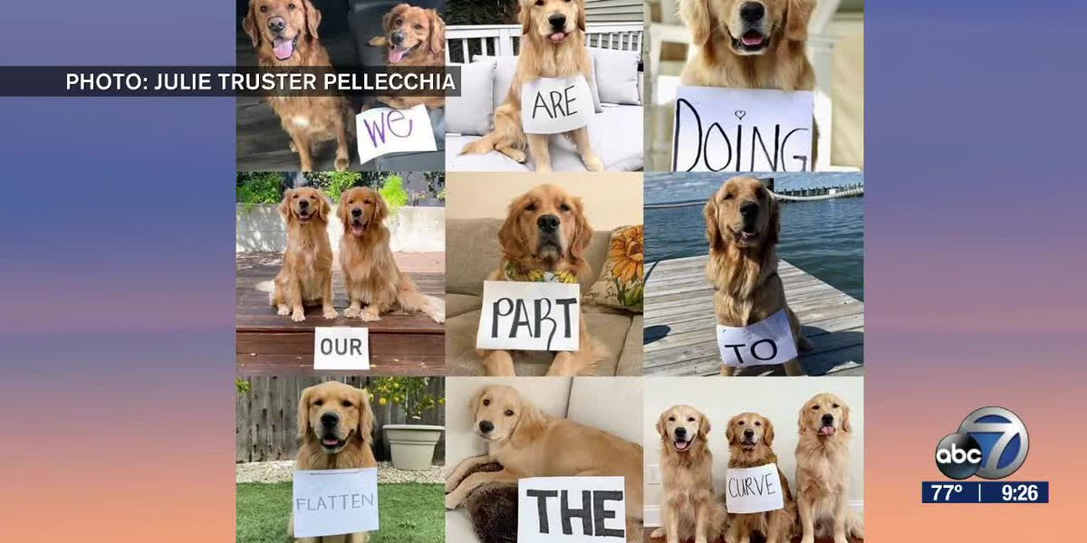 Golden Retrievers Send a Friendly Reminder to Stay Home | Suncoast View