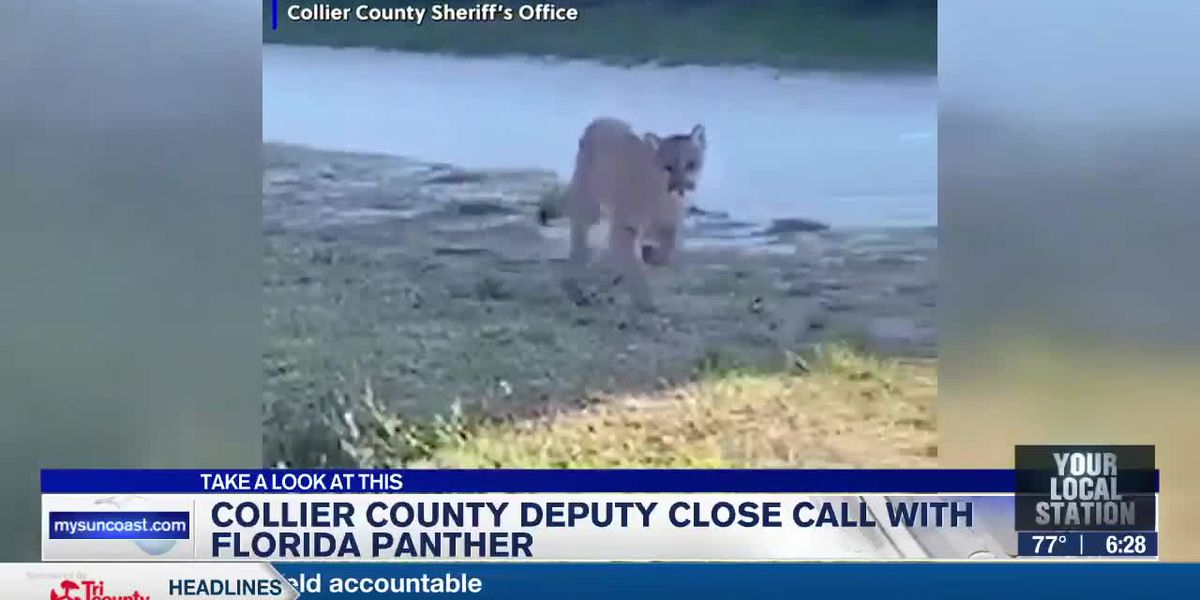 Collier County deputy close call with Florida panther