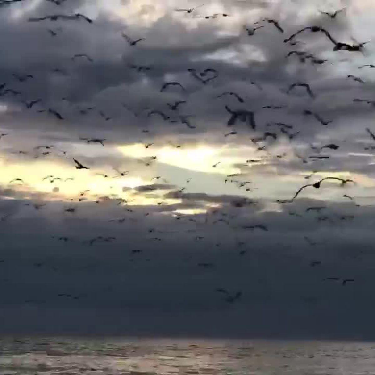 VIDEO: Hundreds of birds take off from beach on Siesta Key