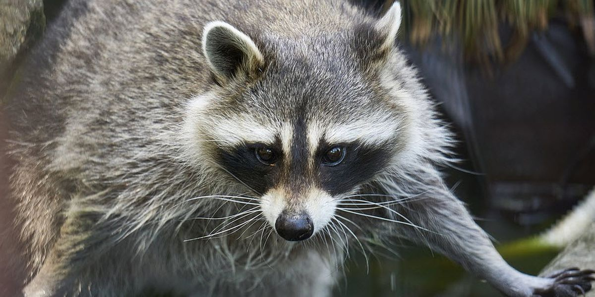 Florida agency investigates after man shoos raccoon off boat