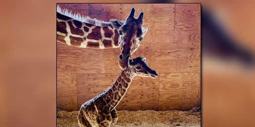 Oh, boy! April the giraffe gives birth to another boy calf