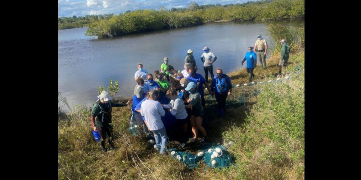FWC and partners rescue six entrapped Manatees