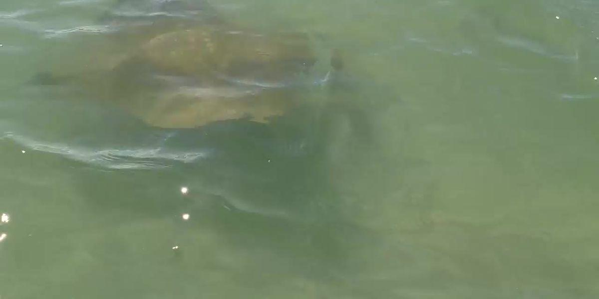 VIDEO: Dozens of stingrays pass close to Siesta Key Beach