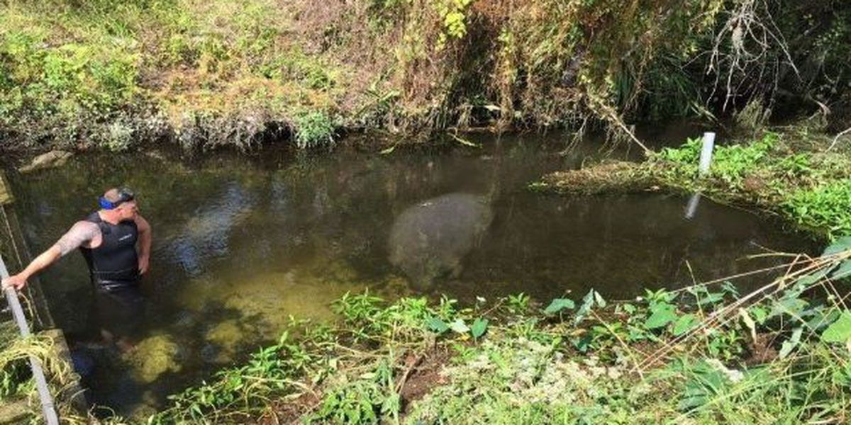FWC: Manatees trapped in canal, due to rising waters from Hurricane Michael
