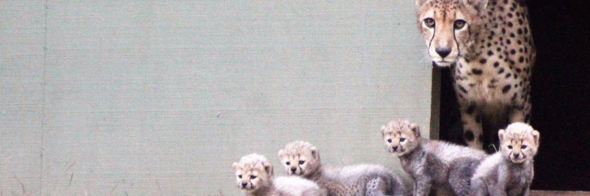 4 cheetah cubs born at wildlife refuge near Jacksonville