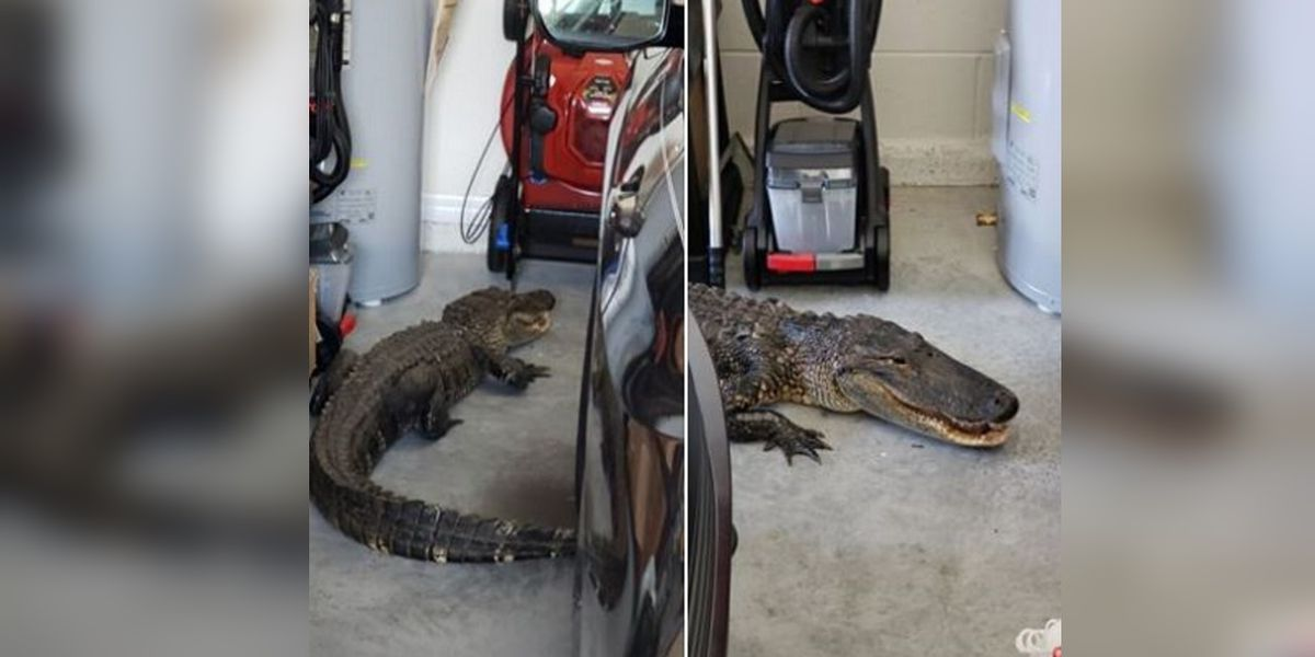 Seven-foot alligator found in North Port on Tuesday afternoon