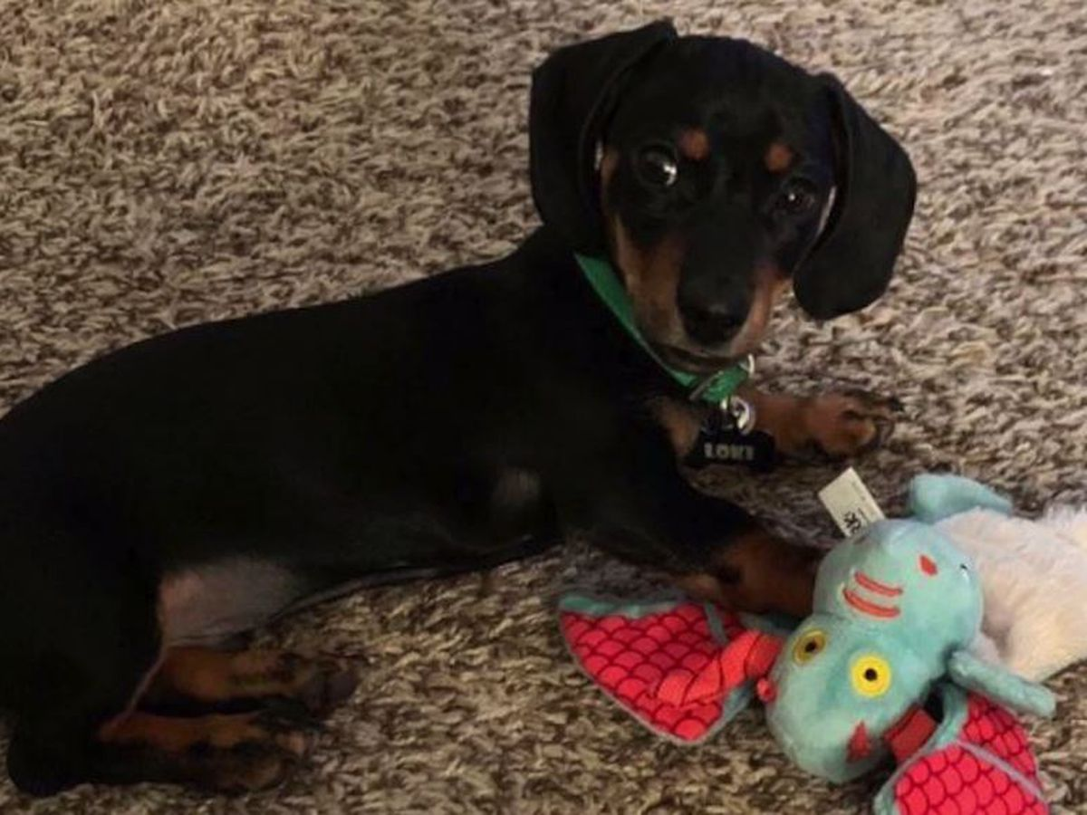 Puppy missing after stolen at gunpoint from Denver couple