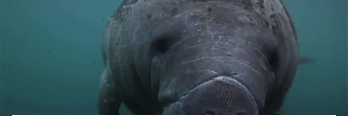 FWC increasing patrols to protect manatees