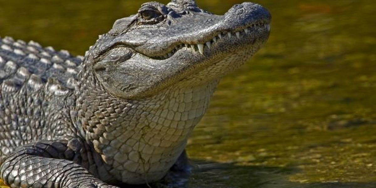 Man attacked by alligator, hospitalized
