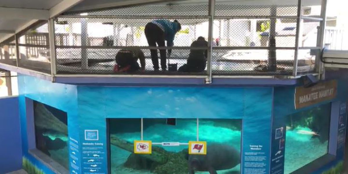 Mote Marine Laboratory's prognosticating manatees, otters disagree on who will win Super Bowl