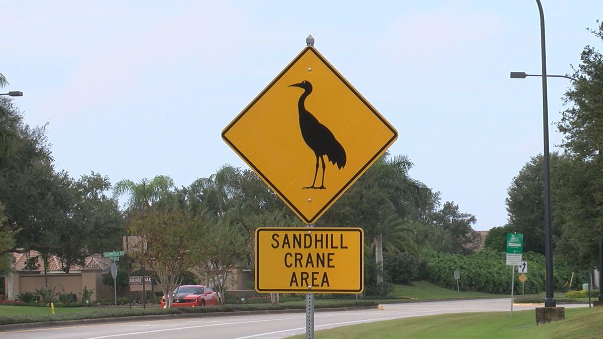 Witnesses say sandhill crane struck and killed by a car on Sarasota roadway