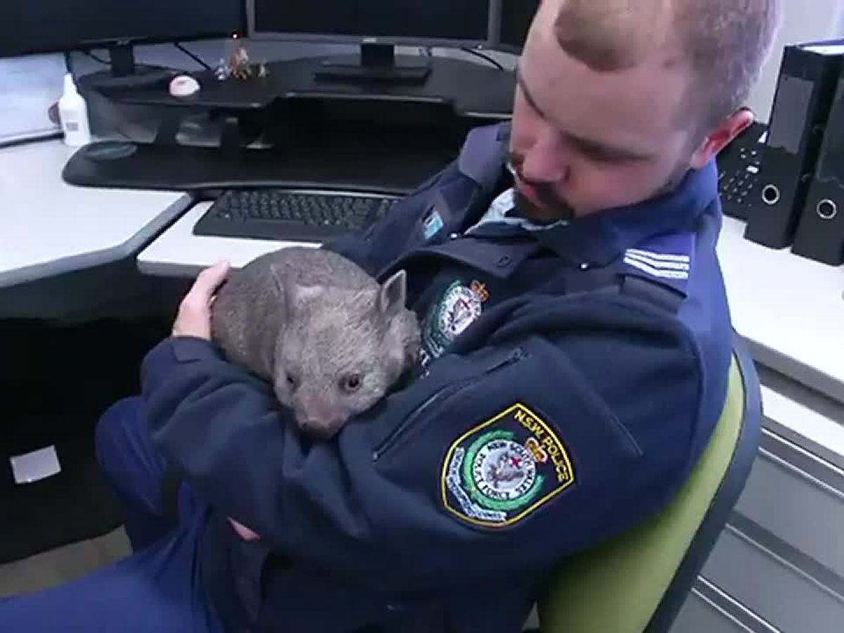 Orphaned baby wombat is latest recruit at Australian police station