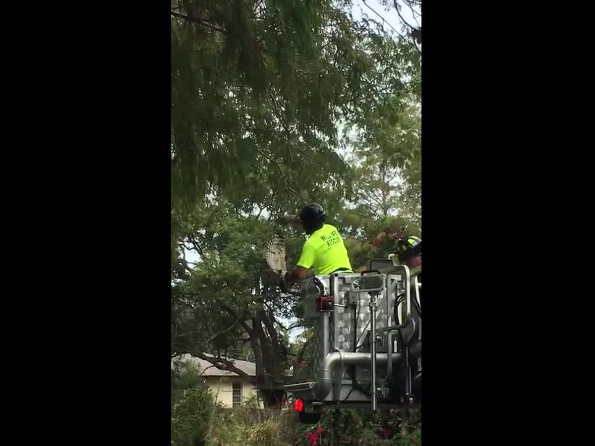 VIDEO: Rare footage of a Barred Owl rescued by Sarasota firefighters