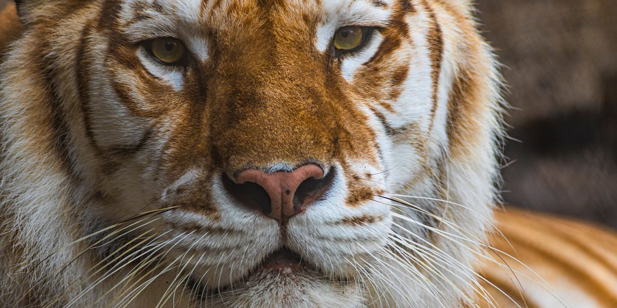 Tiger known for unique coloring dies at Busch Gardens after altercation with brother