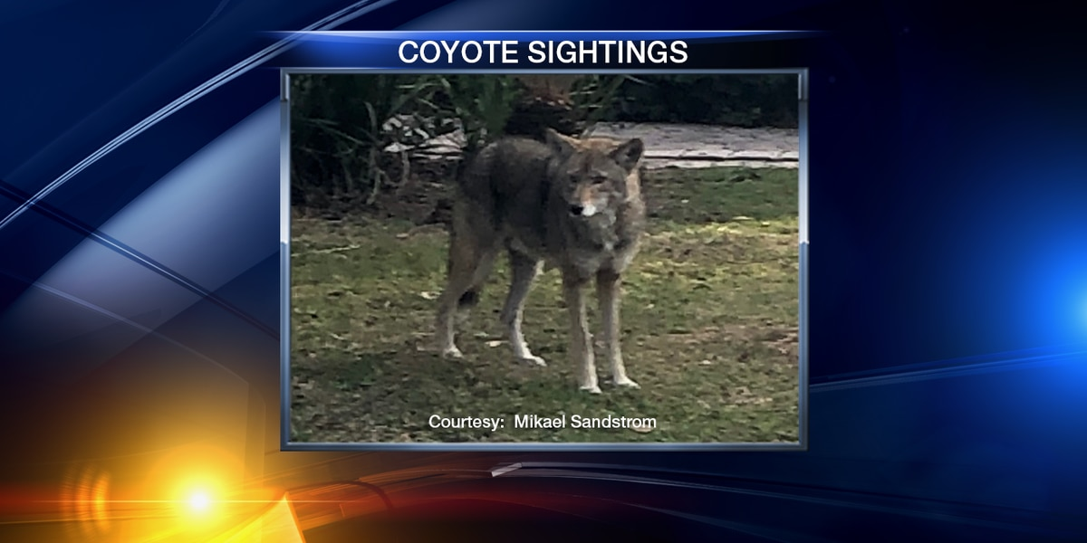 Coyote spotted in Sarasota neighborhood, just blocks from downtown