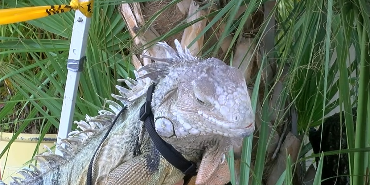Are Iguana Trappers Necessary on the Suncoast?
