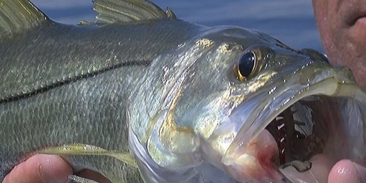 FWC enforces catch-and-release only for snook, redfish