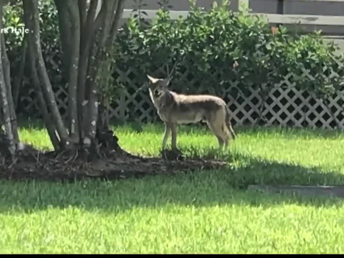 Rise in coyote sightings throughout Sarasota and Manatee County