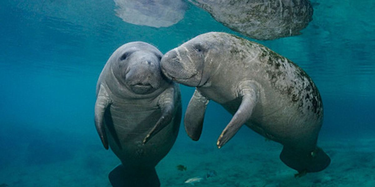 Bradenton museum asks for state funding to better care for manatees