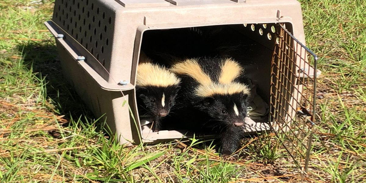 Wildlife Inc. Education & Rehabilitation Center release skunks back to the wild