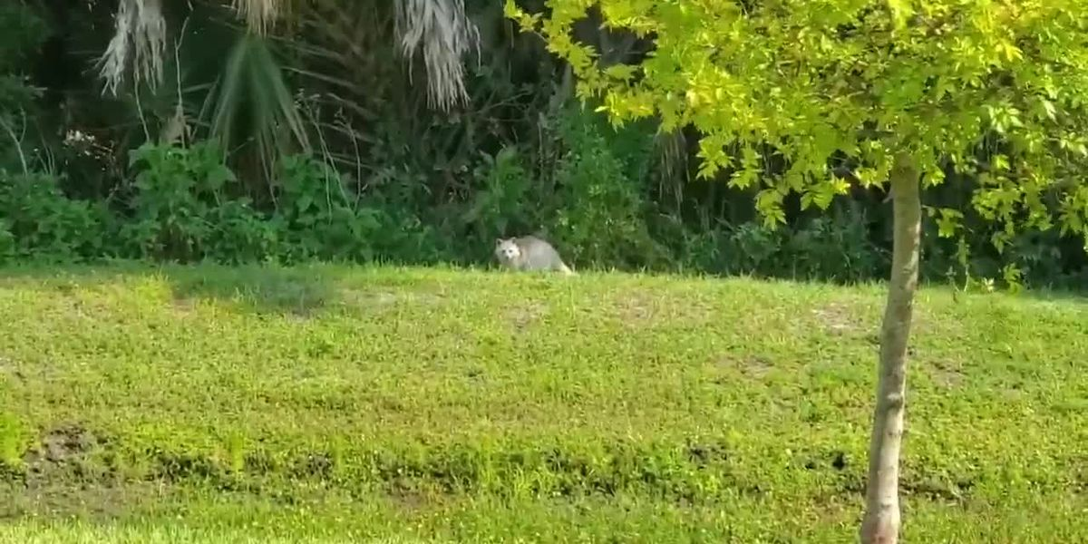White raccoon caught on video in Palmetto