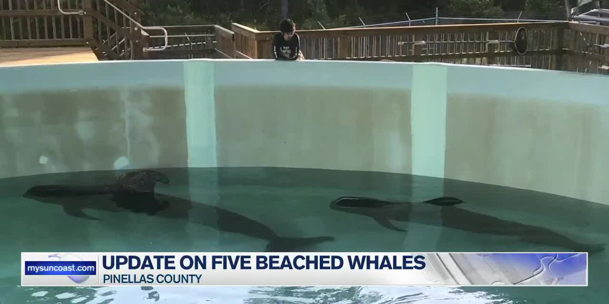 Five pilot whales recovering after beaching themselves on Monday