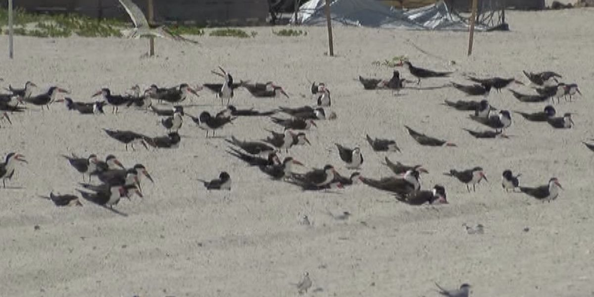 Beachgoers threaten bird species in Sarasota