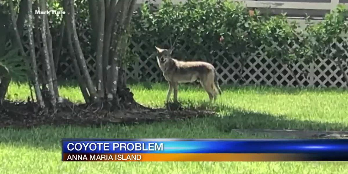 Push for solutions to coyote issue on Anna Maria Island