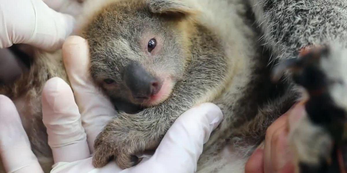 Australian zoo welcomes first koala joey since thousands died during bushfires, names it Ash